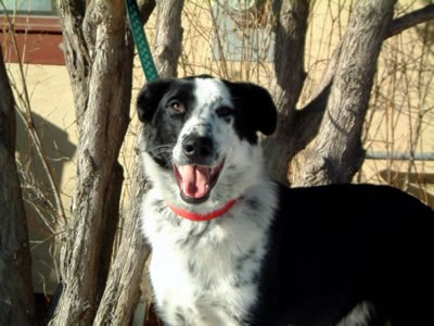 border collie australian cattle dog blue heeler mix nash is a young